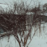 Жимолость, кустарники ягодные, редкие садовые растения