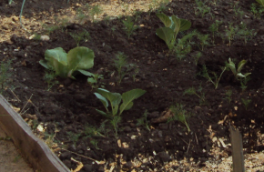 Посадка и выращивание капусты