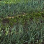 Посадка и выращивание моркови