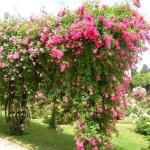 Садовый декоративный кустарник роза