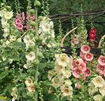 Двулетние цветы для сада