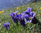 Дикорастущие цветы, выращиваемые в саду