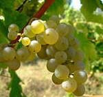 Виноград выращенный на Урале