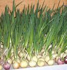 Выращивание зелёного лука зимой