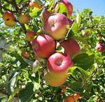 Чудо - яблочки
