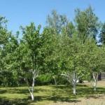 Как лучше расположить деревья в саду