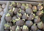 Подготовка картофеля к посадке