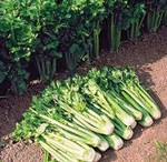 Как  вырастить  сельдерей  из  семян.