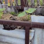 Выращиваем кабачки или тыкву  на компостной куче