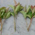 Размножение растений зелёными черенками