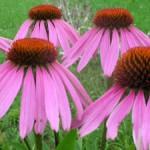 Лекарственное растение эхинацея