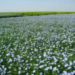 Красивое поле цветущего льна