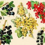 Разновидности смородины