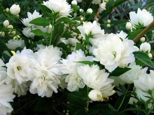 Чубушник - цветущее чудо