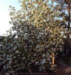 Груша в цвету