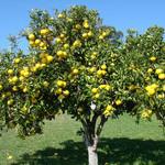 Яблоня -опадание плодов