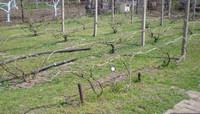 Весенние работы на винограднике